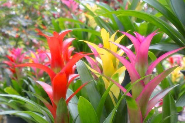 お花が好きなお母さんには、変化を楽しめるグズマニア